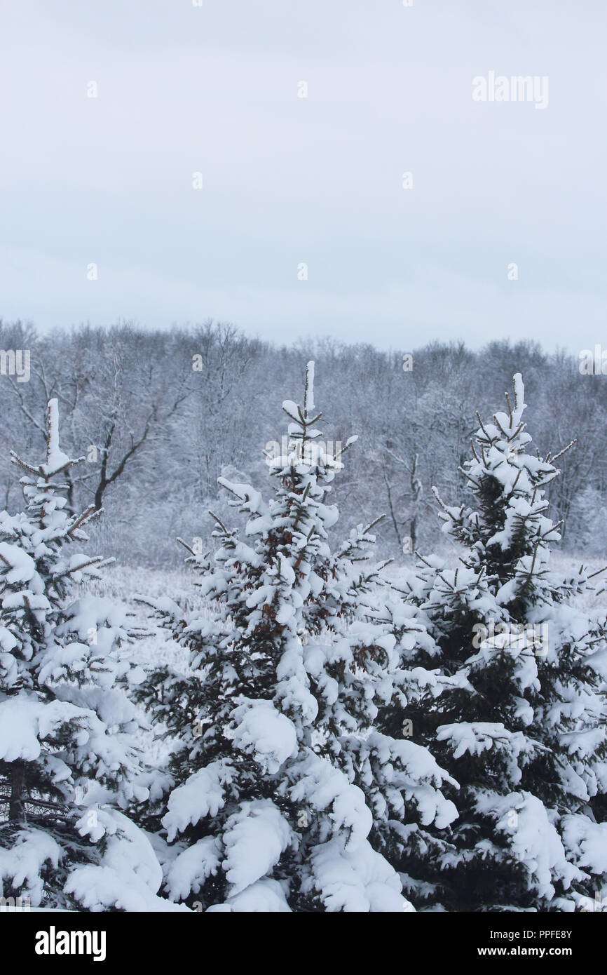 Snow covered evergreen trees loaded with pinecones in Wisconsin, USA - Stock Image