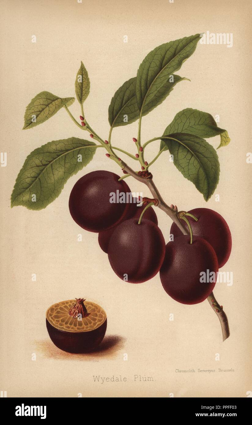 Wyedale Plum cultivar, Prunus domestica. Chromolithograph from 'The Florist and Pomologist' Robert Hogg, London, published from 1878 to 1884. 251 hand-coloured and chromolithographic plates of fruit and flowers. Drawn by Walter Hood Fitch, Miss E. Regel, and J.L. Macfarlane, lithographed by G. Severeyns and Stroobant, Belgium. - Stock Image