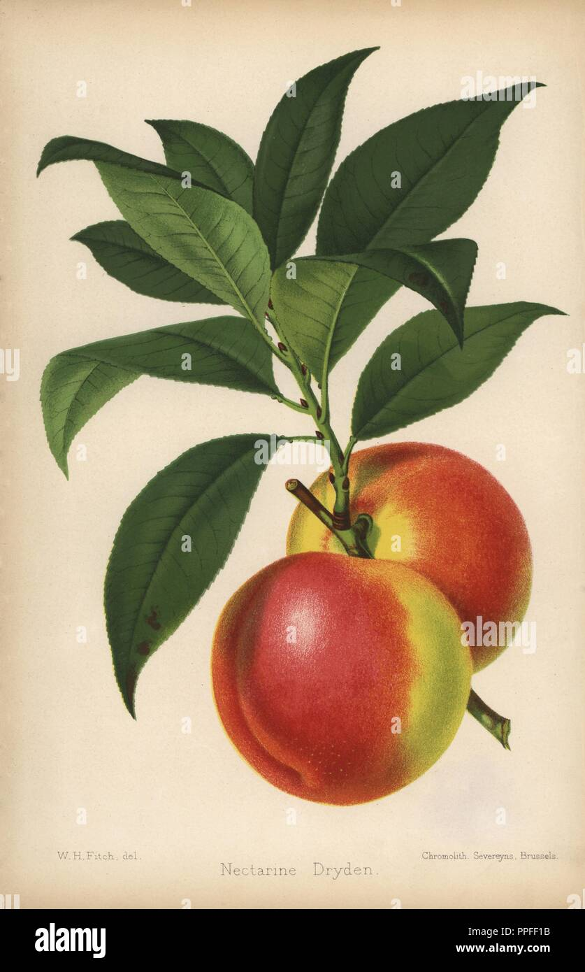 Dryden nectarine, Prunus persica. Chromolithograph from 'The Florist and Pomologist' Robert Hogg, London, published from 1878 to 1884. 251 hand-coloured and chromolithographic plates of fruit and flowers. Drawn by Walter Hood Fitch, Miss E. Regel, and J.L. Macfarlane, lithographed by G. Severeyns and Stroobant, Belgium. - Stock Image