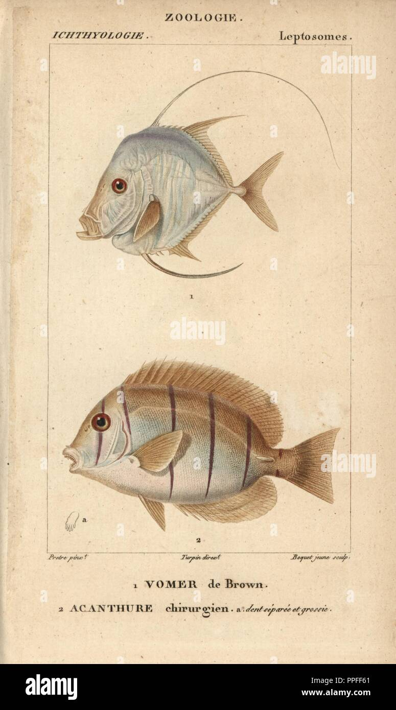 Caribbean moonfish, Vomer de Brown, Selene brownii, and doctorfish, Acanthurus chirurgus, Acanthure chirurgien. Handcoloured copperplate stipple engraving from Jussieu's 'Dictionnaire des Sciences Naturelles' 1816-1830. The volumes on fish and reptiles were edited by Hippolyte Cloquet, natural historian and doctor of medicine. Illustration by J.G. Pretre, engraved by Boquet, directed by Turpin, and published by F. G. Levrault. Jean Gabriel Pretre (17801845) was painter of natural history at Empress Josephine's zoo and later became artist to the Museum of Natural History. - Stock Image