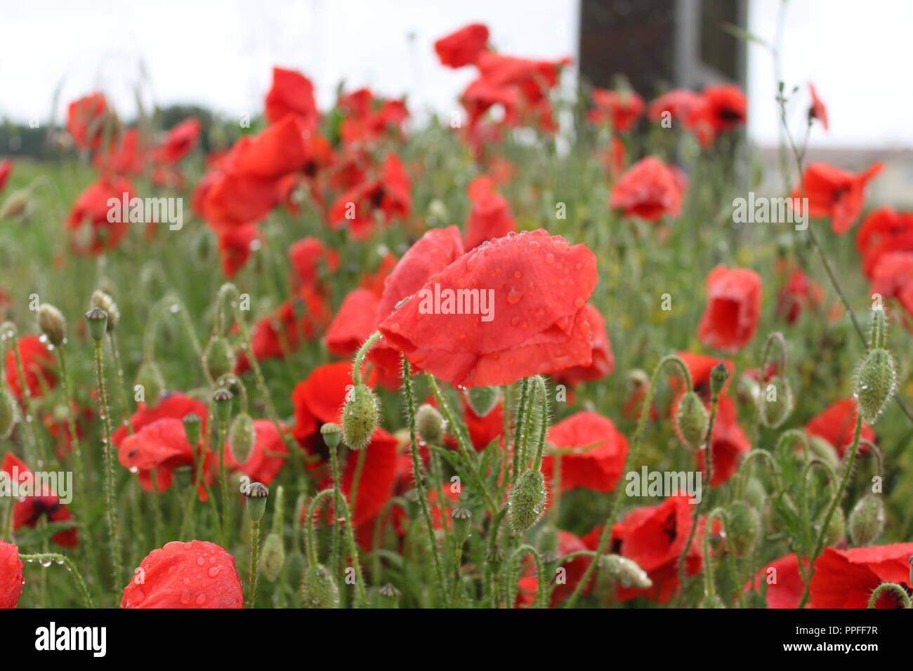 Field Of Poppies After Morning Rain Stock Photo 220388107 Alamy
