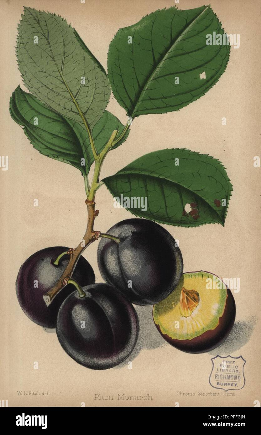 Plum cultivar, Monarch, Prunus domestica. Chromolithograph from 'The Florist and Pomologist' Robert Hogg, London, published from 1878 to 1884. 251 hand-coloured and chromolithographic plates of fruit and flowers. Drawn by Walter Hood Fitch, Miss E. Regel, and J.L. Macfarlane, lithographed by G. Severeyns and Stroobant, Belgium. - Stock Image