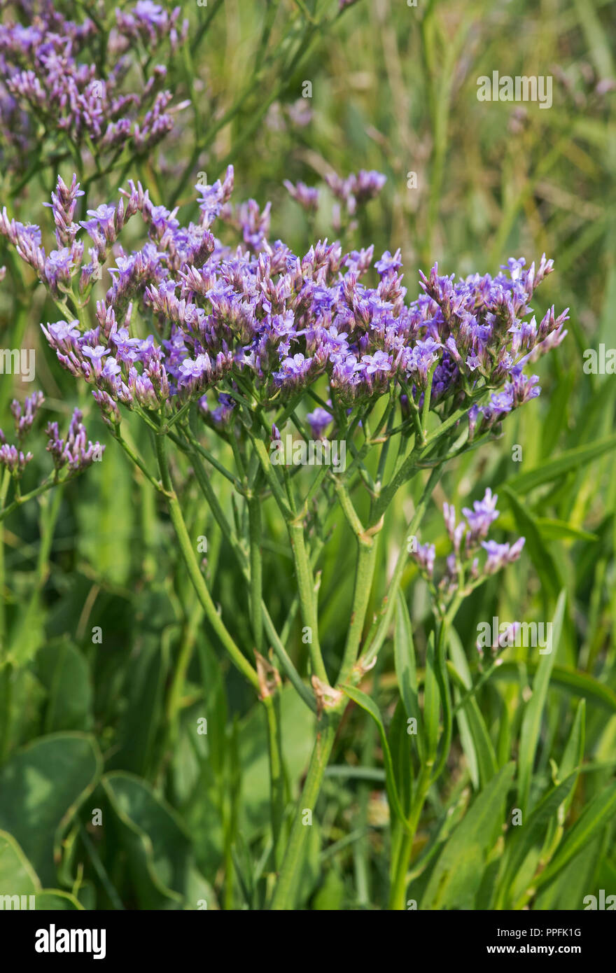 Blooming common sea lavender (Limonium vulgare), salt meadow in the intertidal zone at the North Sea coast, Schleswig-Holstein - Stock Image