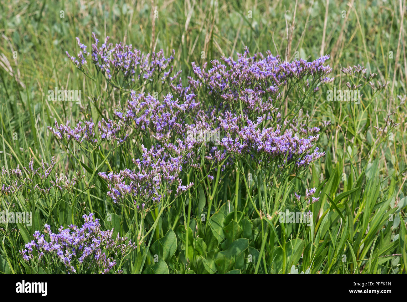Blooming common sea lavender (Limonium vulgare), salt meadow in the intertidal zone at the North Sea coast, Schleswig-Holstein Stock Photo