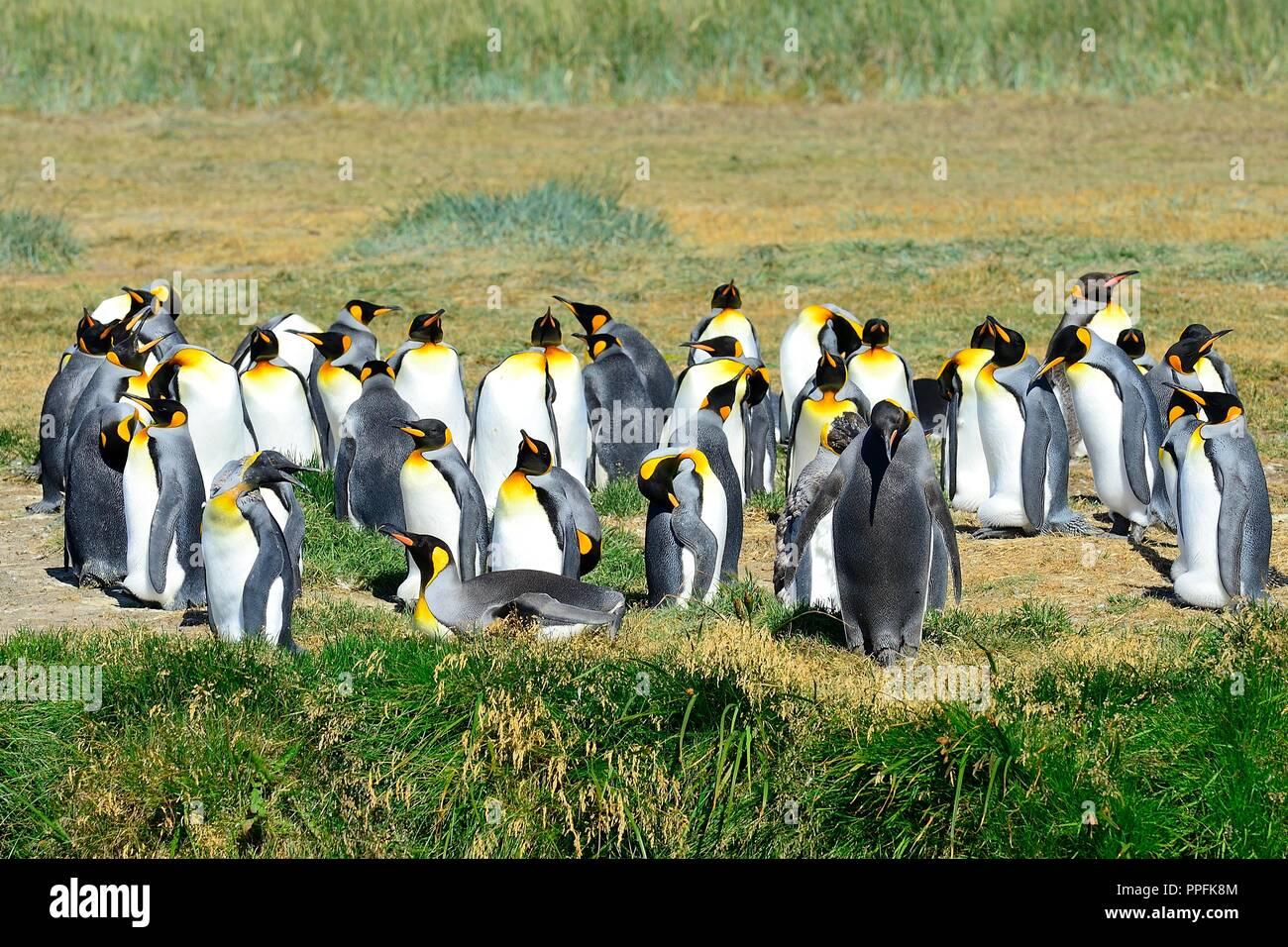 King penguins (Aptenodytes patagonicus), colony at Bahia Inutil, Parque Pingüino Rey, Porvenir, Province Tierra del Fuego - Stock Image