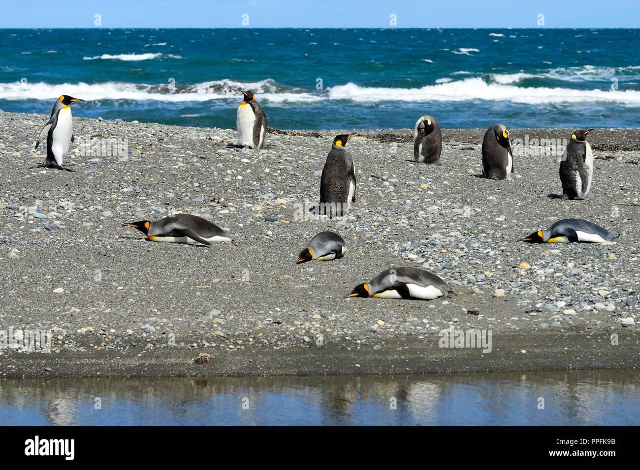 King penguins (Aptenodytes patagonicus), colony on gravel bank at Bahia Inutil, Parque Pingüino Rey, Porvenir - Stock Image