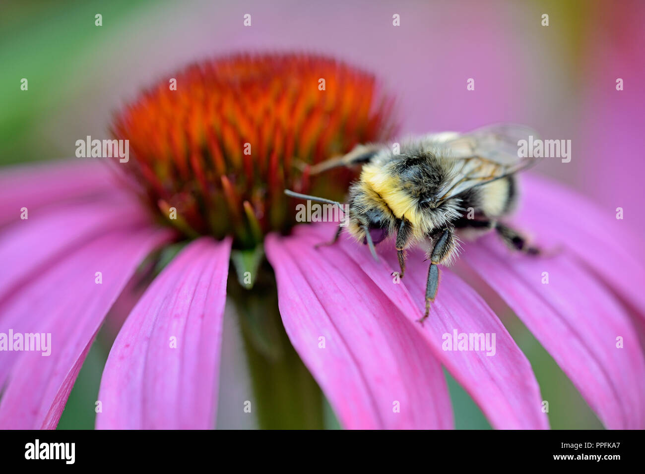 Bumblebee (Bombus) on a blossom of Purple Cone flower (Echinacea purpurea), Germany - Stock Image