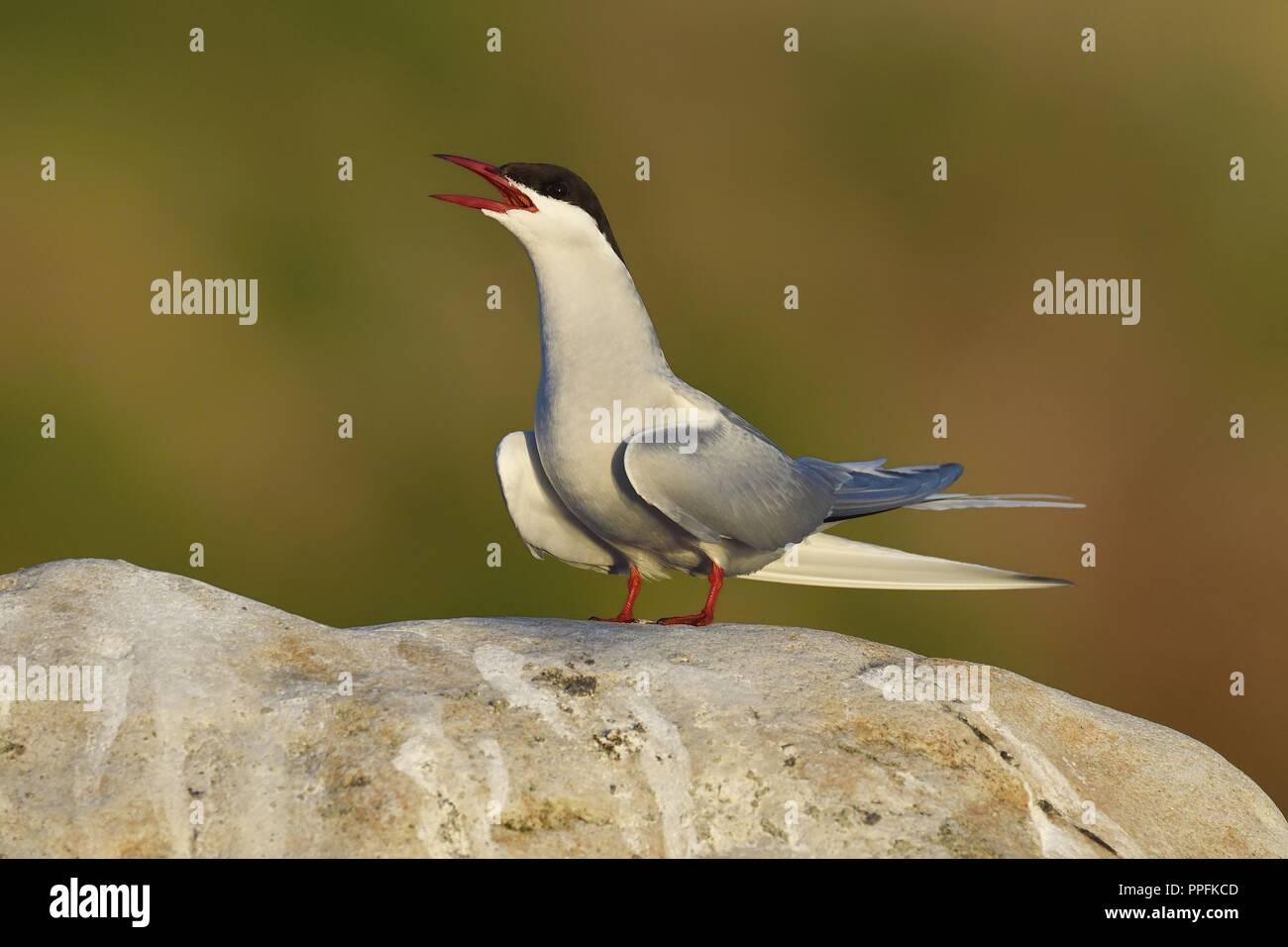 Arctic tern (Sterna paradisaea), adult bird calling on stone, Varanger, Norway - Stock Image