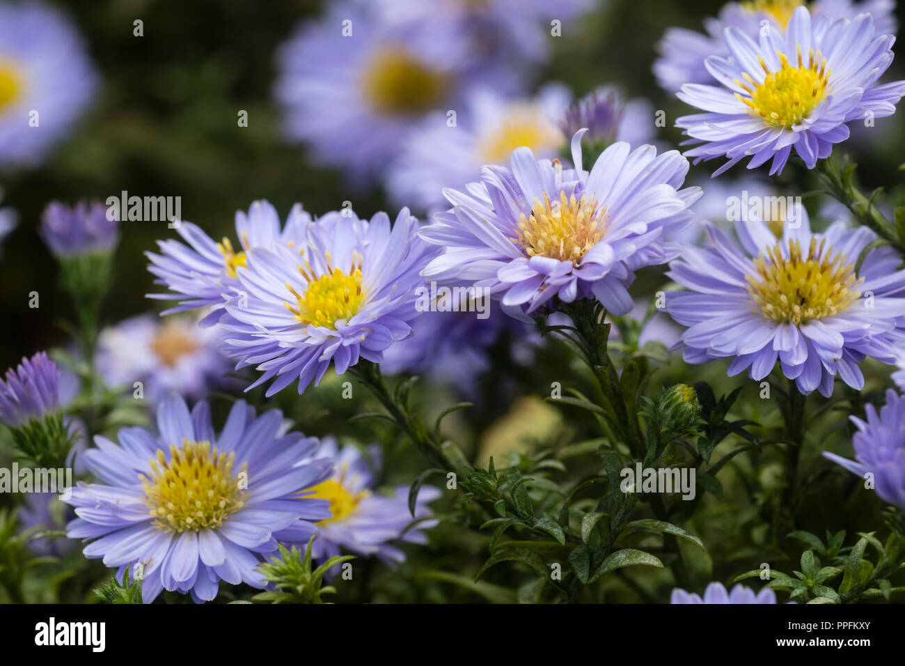 Blue ray petals and yellow centre of the autumn flowering, compact, perennial Aster x dumosus hybrid, Aster Autumn Jewels 'Aqua Compact' - Stock Image