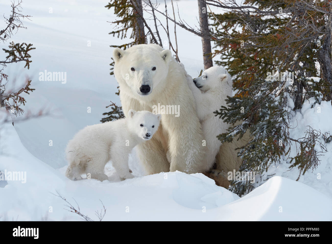 Polar bears (Ursus maritimus), mother animal with two newborns in a snow hollow, Wapusk National Park, Manitoba, Canada - Stock Image