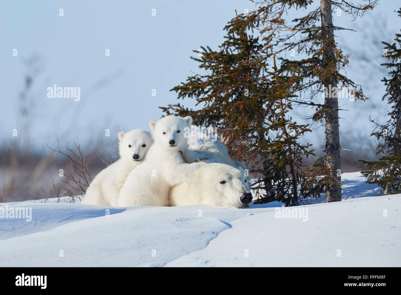 Polar bears (Ursus maritimus), mother animal with two newborns lying in the snow, Wapusk National Park, Manitoba, Canada - Stock Image
