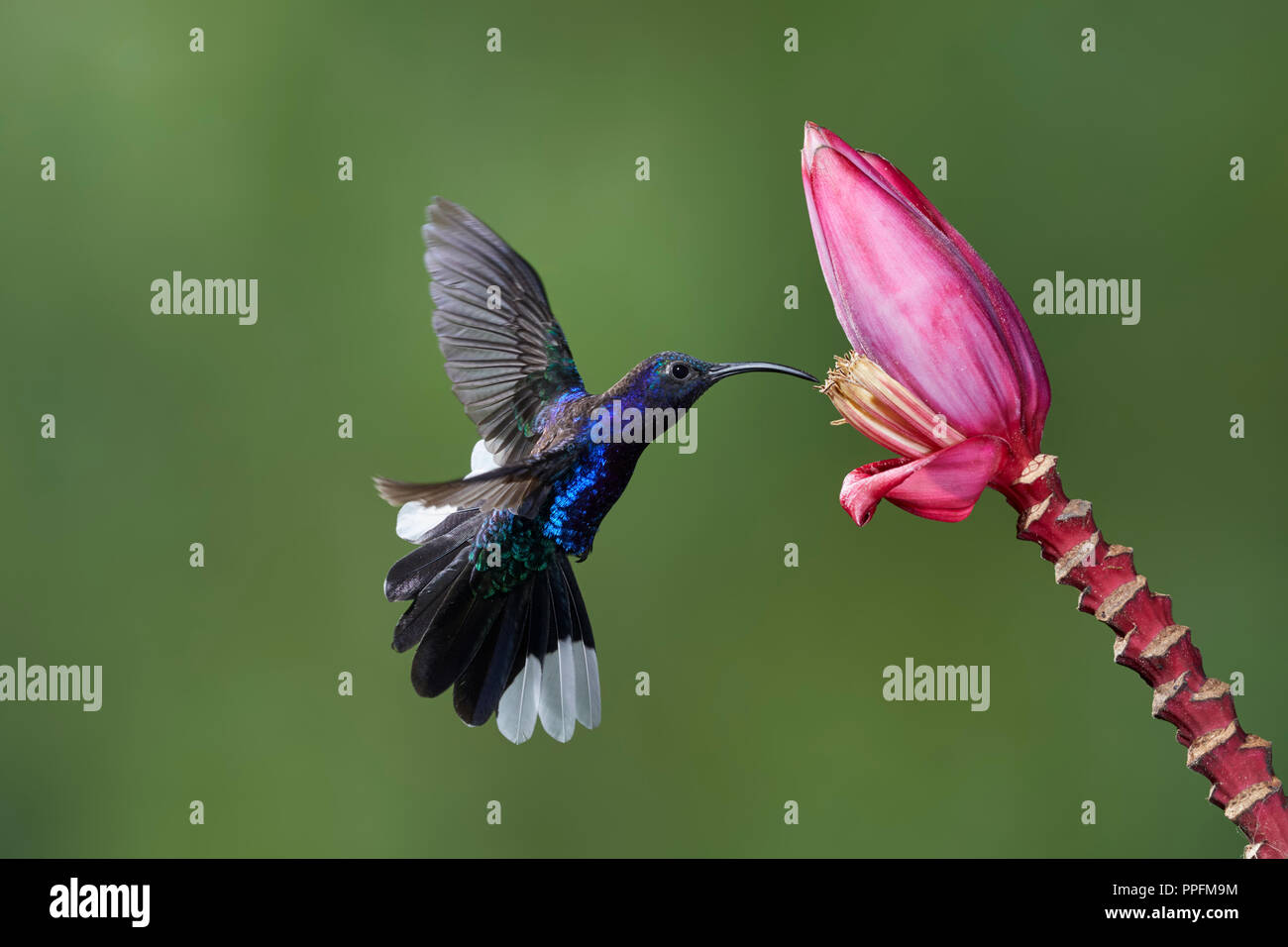 Violet Sabrewing (Campylopterus hemileucurus), male, approaching a Bananas flower (Musa sp), Bosque del Paz, Costa Rica Stock Photo