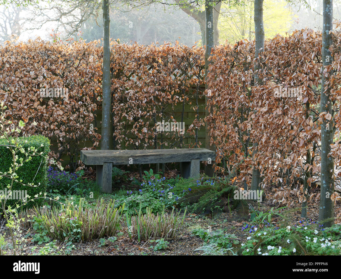 Early spring in the garden. Dry, brown leaves of beech tree , closely planted and used as a boundary hedge with a hard wooden bench and spring flowers - Stock Image