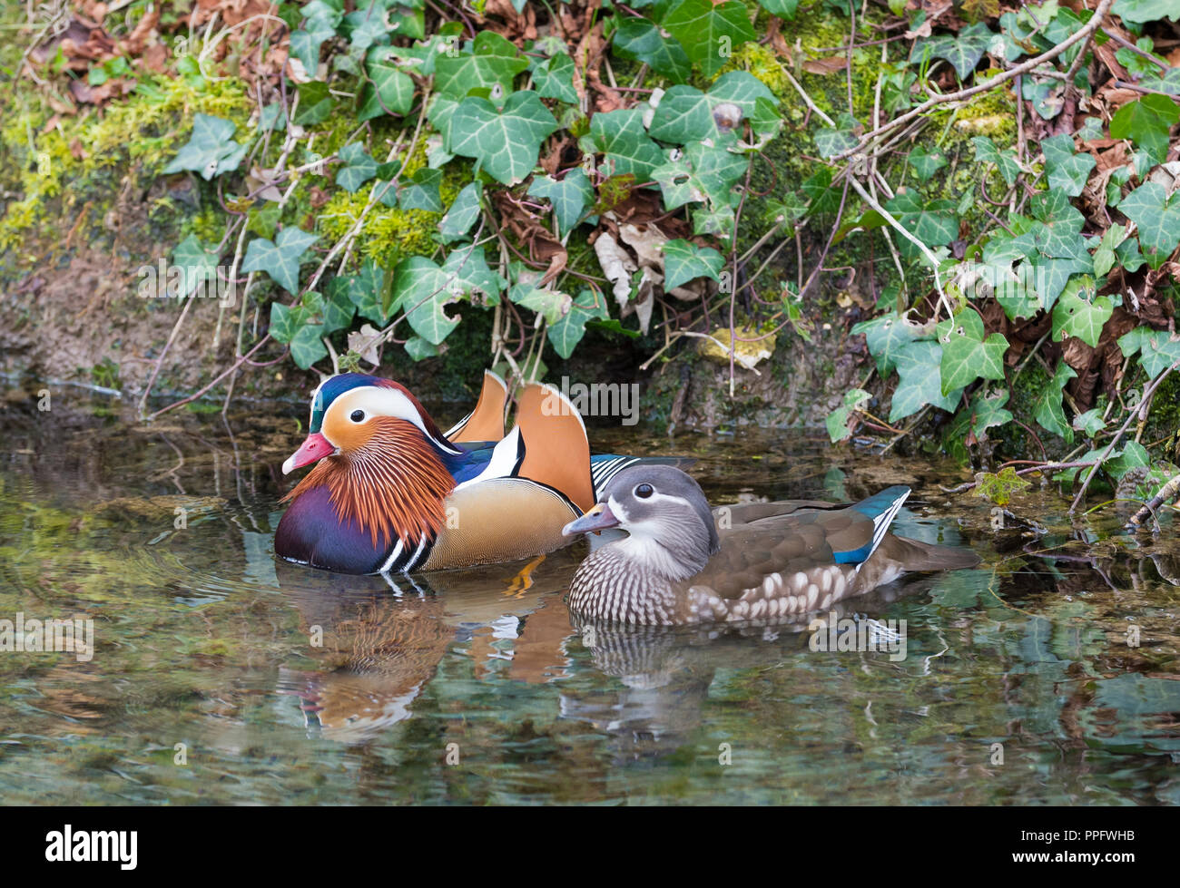 Pair of Mandarin ducks (Aix galericulata) floating on water in Spring in Arundel, West Sussex, England, UK. - Stock Image