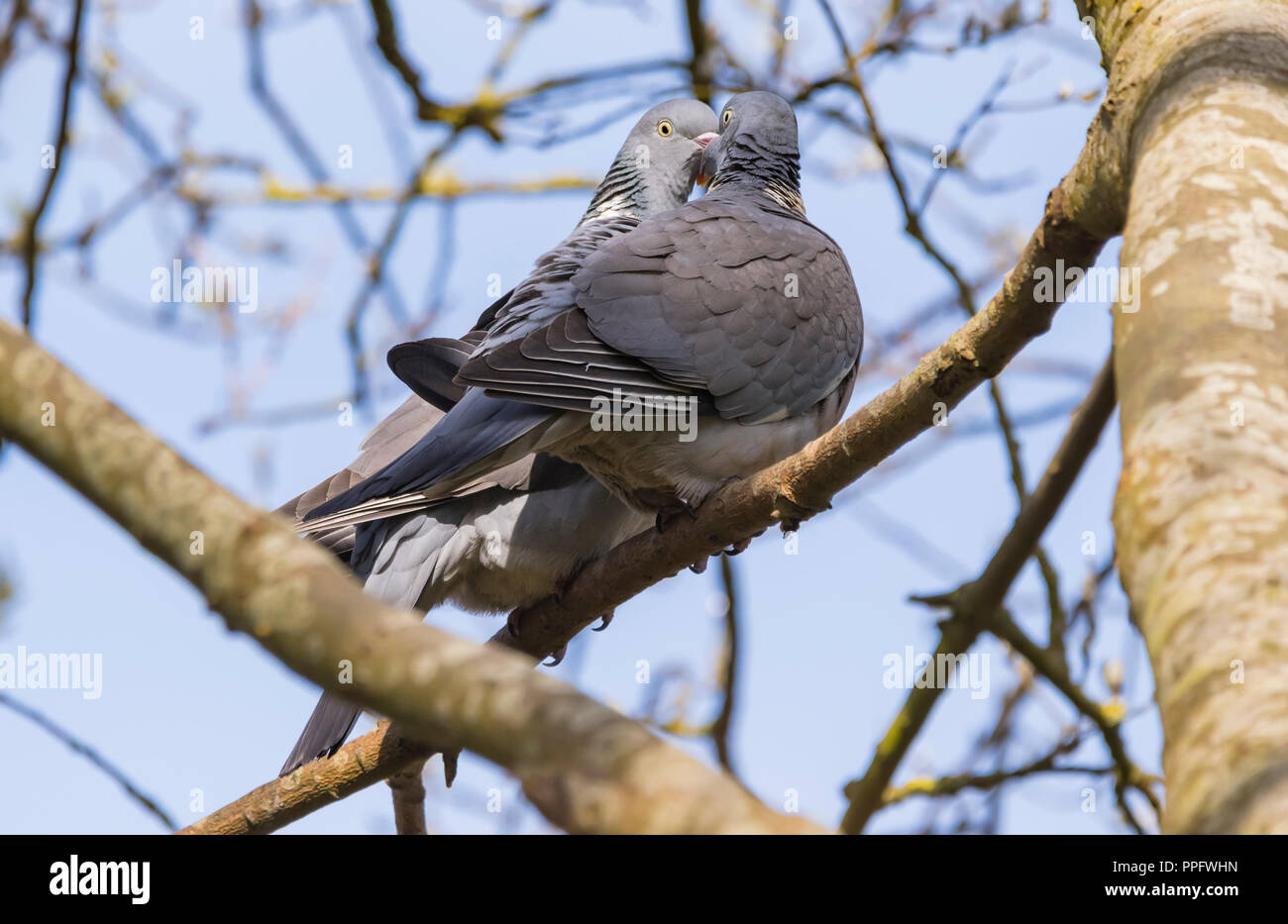 Pair of Woodpigeons (Columba palumbus) perched in a tree courting in Spring in the UK. Wood pigeon courtship display. - Stock Image