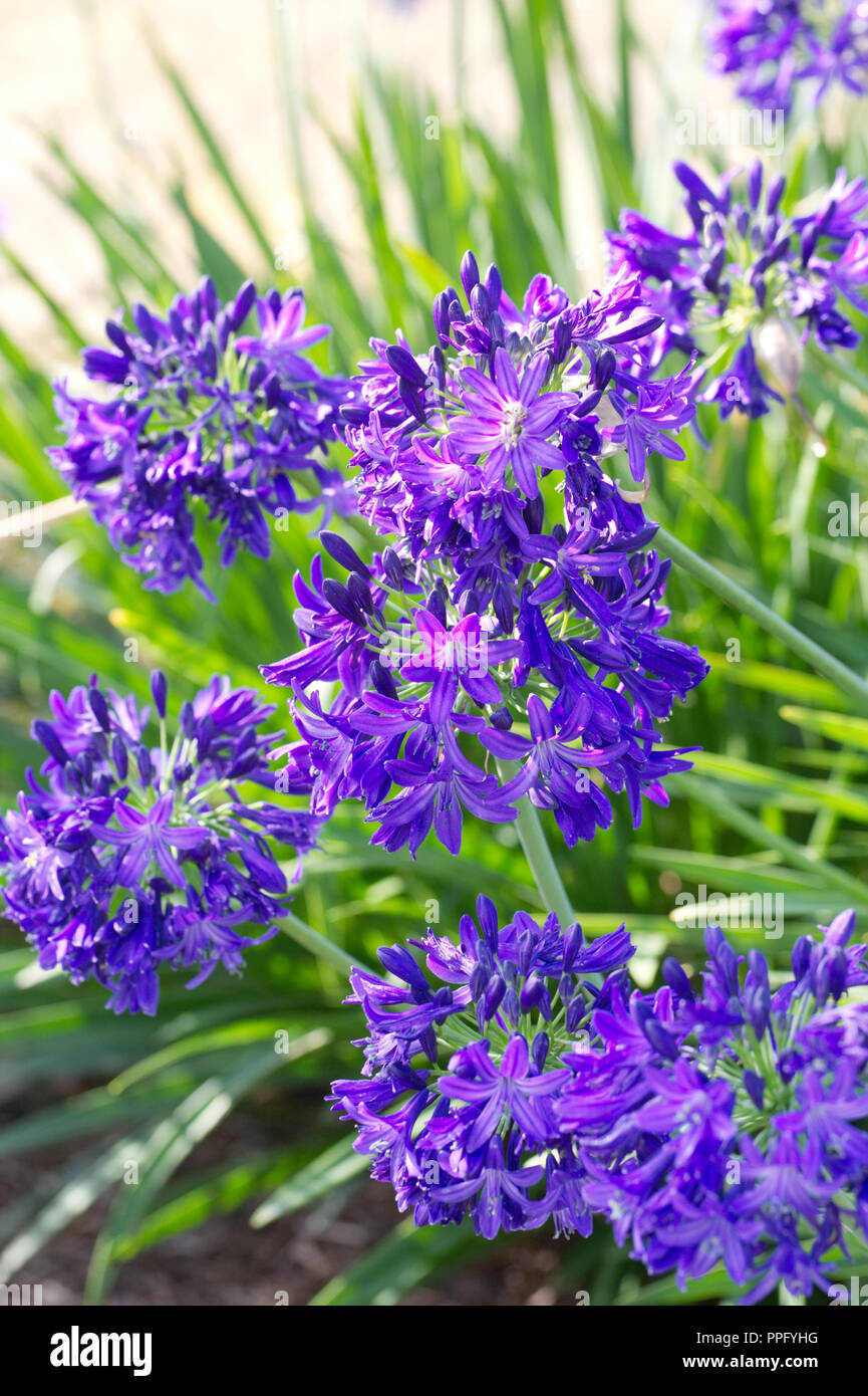 Agapanthus 'Taw Valley' flowers. - Stock Image
