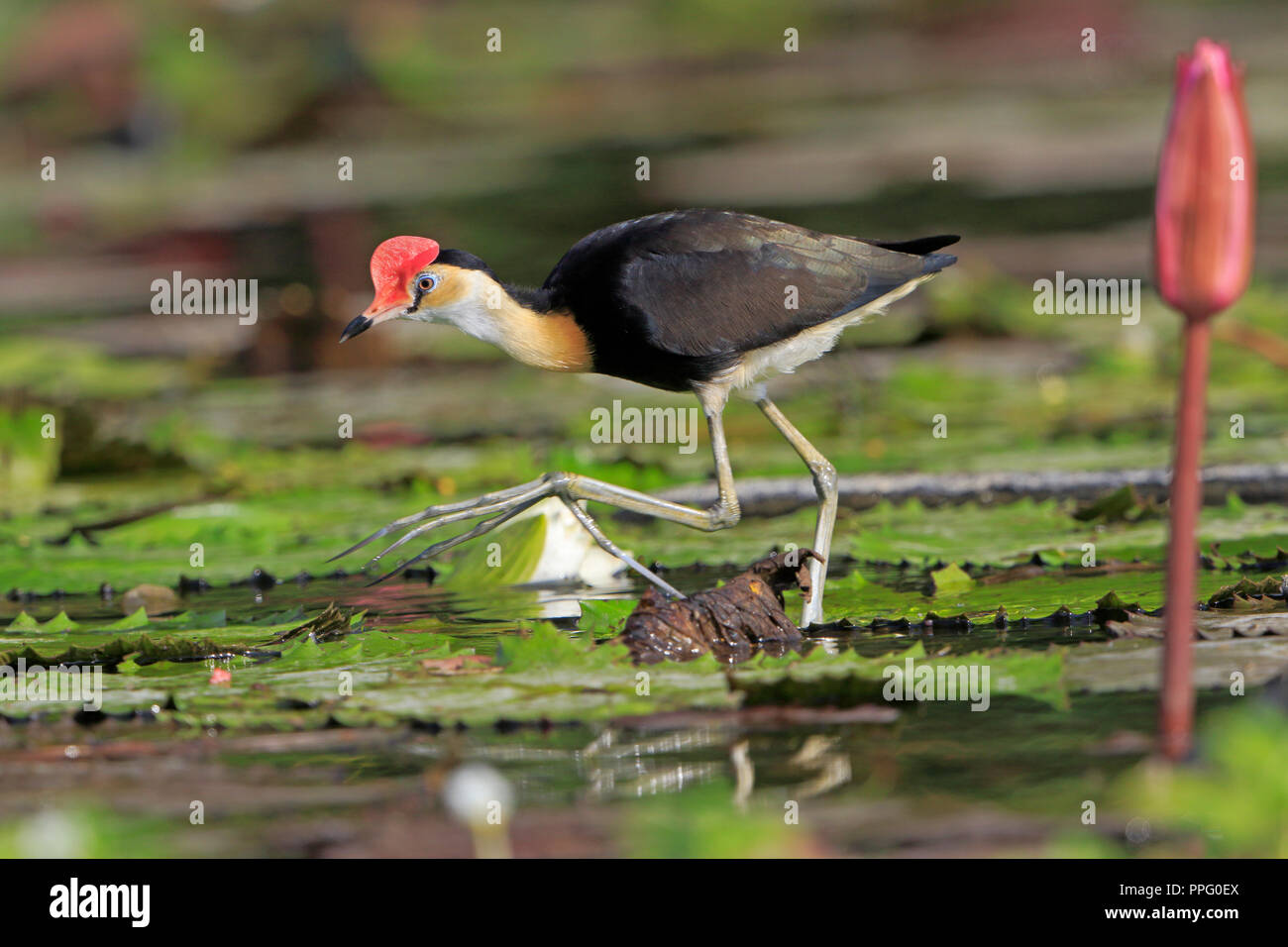 Comb-crested Jacana on water lilies in Port Moresby Papua New Guinea - Stock Image