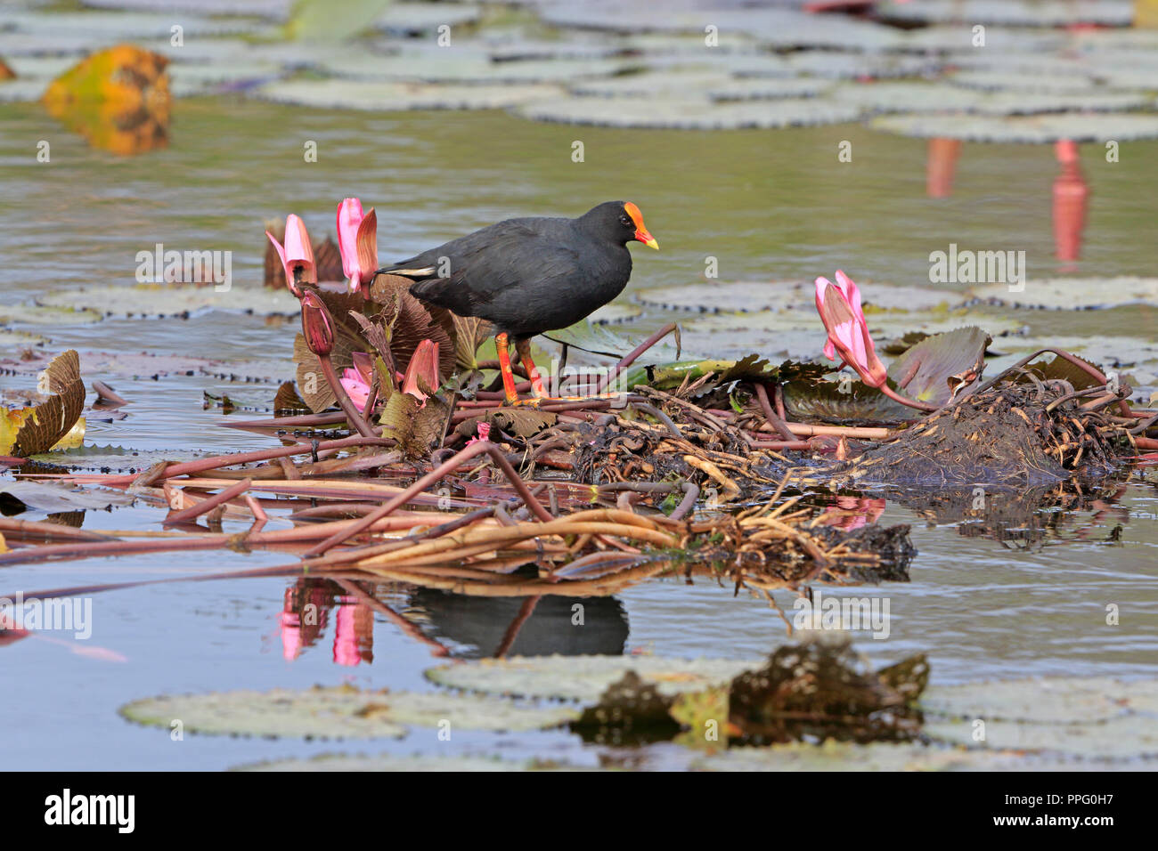 Dusky Moorhen in Port Moresby Papua New Guinea - Stock Image