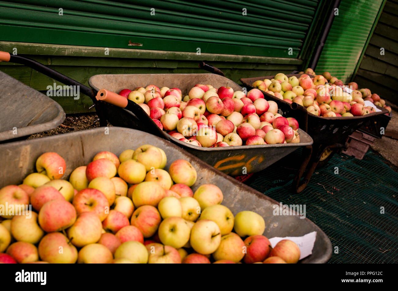 Three wheelbarrows full of English Cox eating Apples - Stock Image