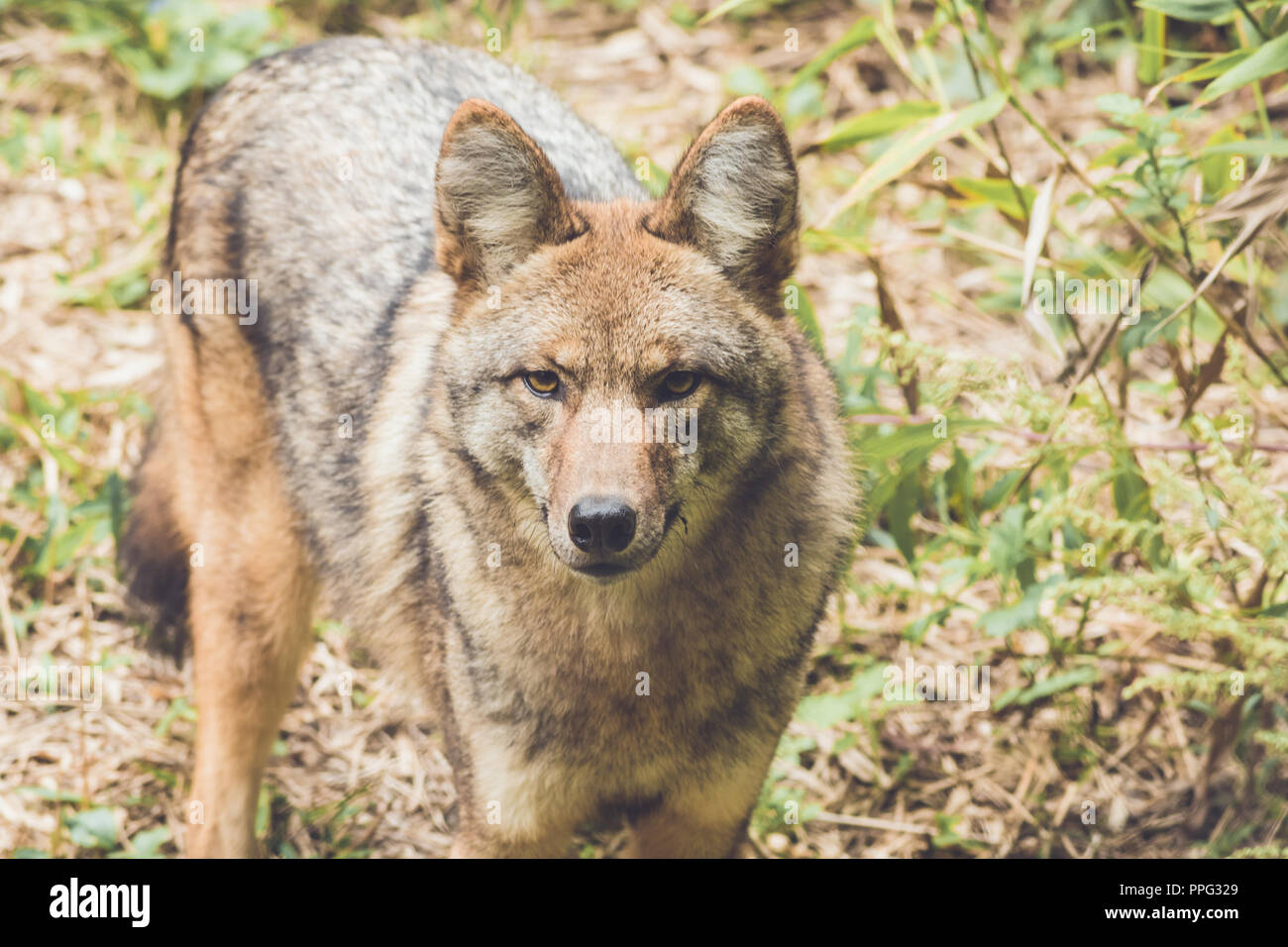 Coyote (Canis latrans) peers through thick green forest canopy in early fall, vintage garden setting - Stock Image