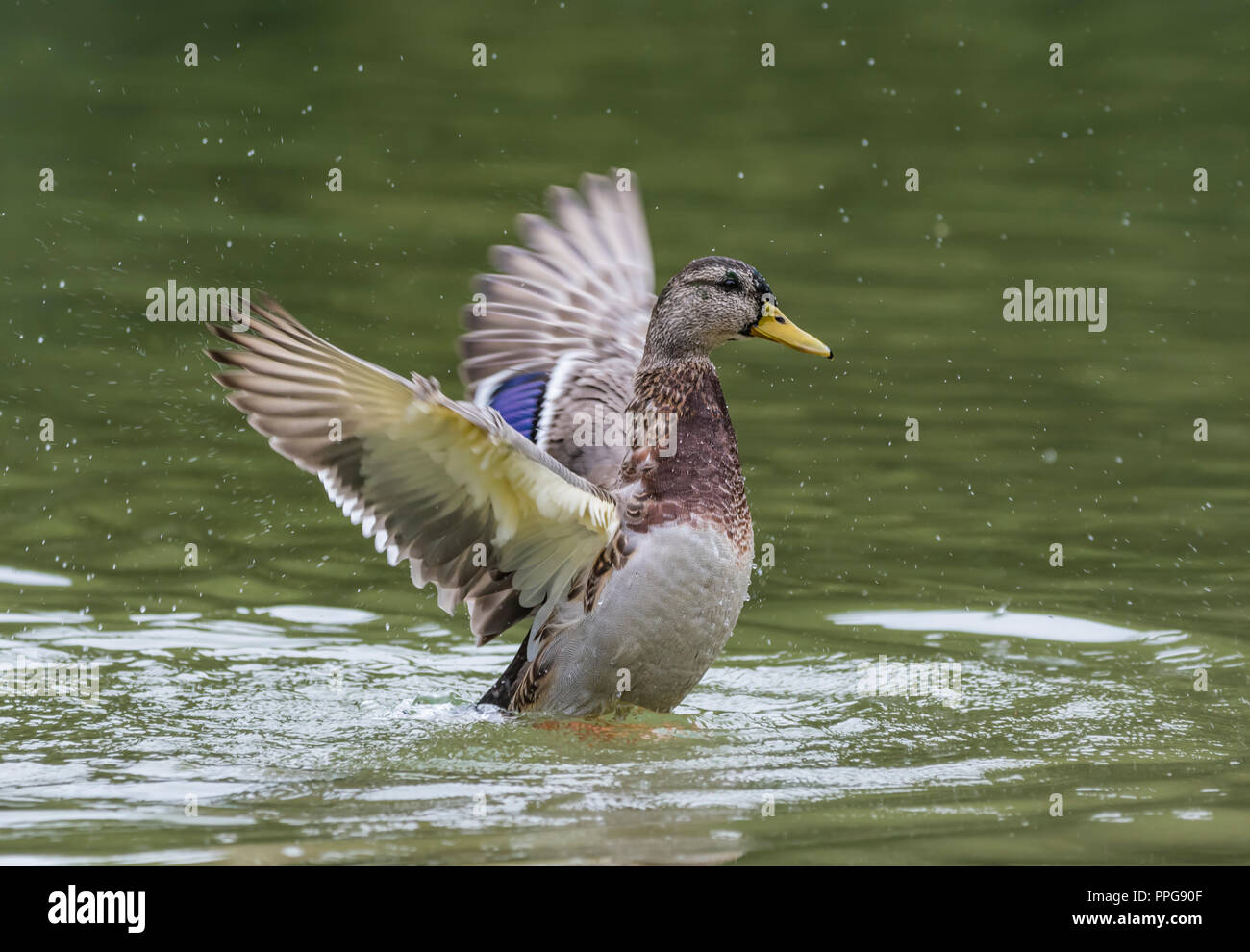 Hen (female) Mallard Duck (Anas platyrhynchos) on water flapping wings, with wings out stretched back and up in Summer in West Sussex, UK. - Stock Image