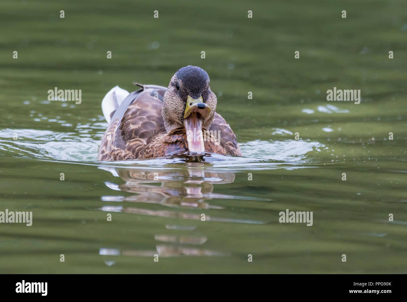 Hen (female) Mallard Duck (Anas platyrhynchos) swimming on water facing front with beak (bill) wide open, in Summer in West Sussex, UK. - Stock Image