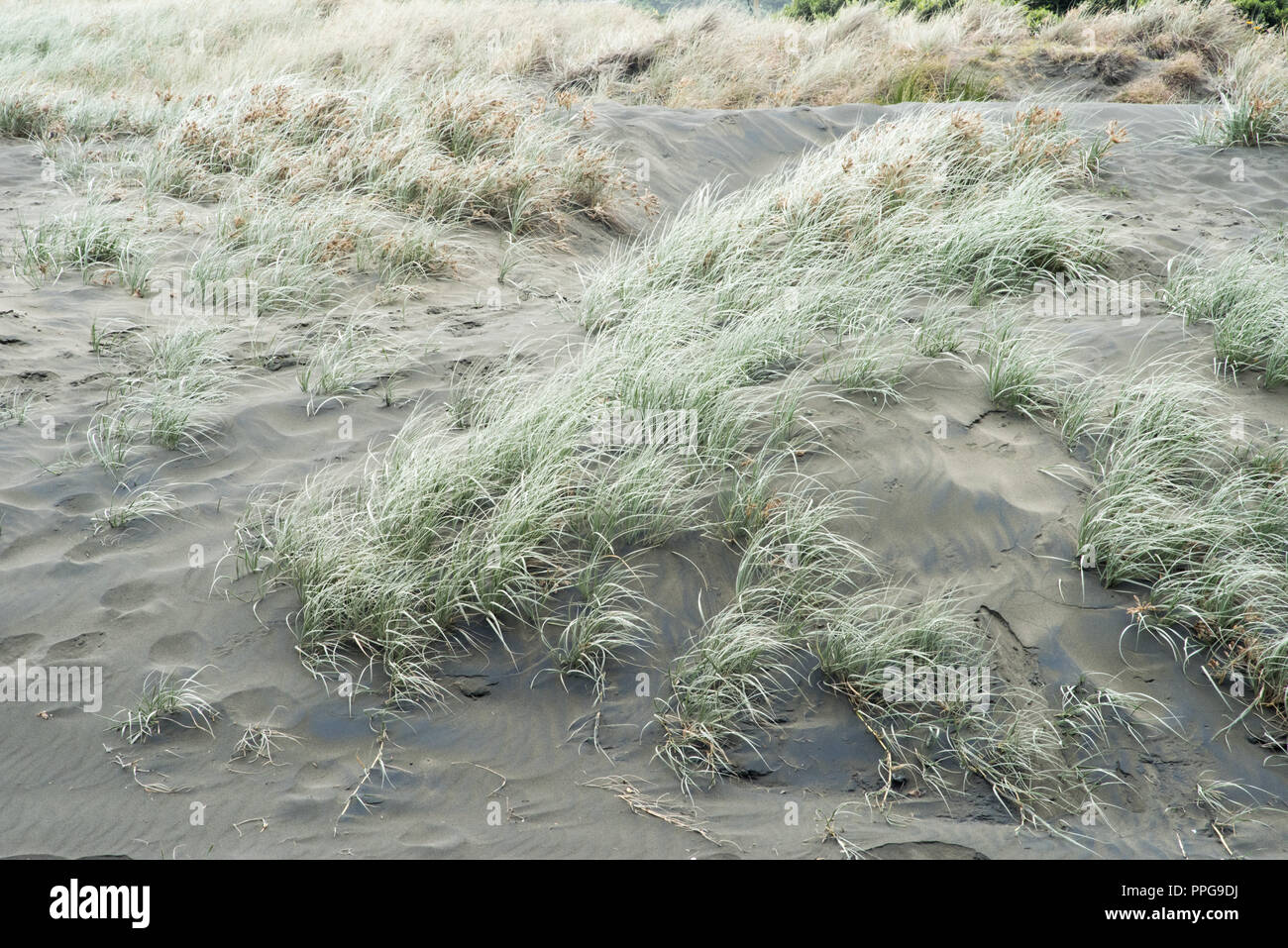 Background of the black sand and dune grasses at Piha Beach in Auckland, New Zealand - Stock Image