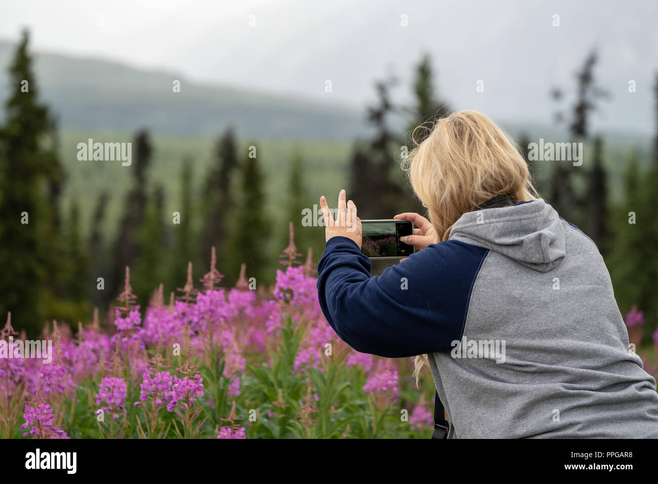 Blonde woman takes photos of Alaska fireweed wildflowers with her smart phone - Stock Image