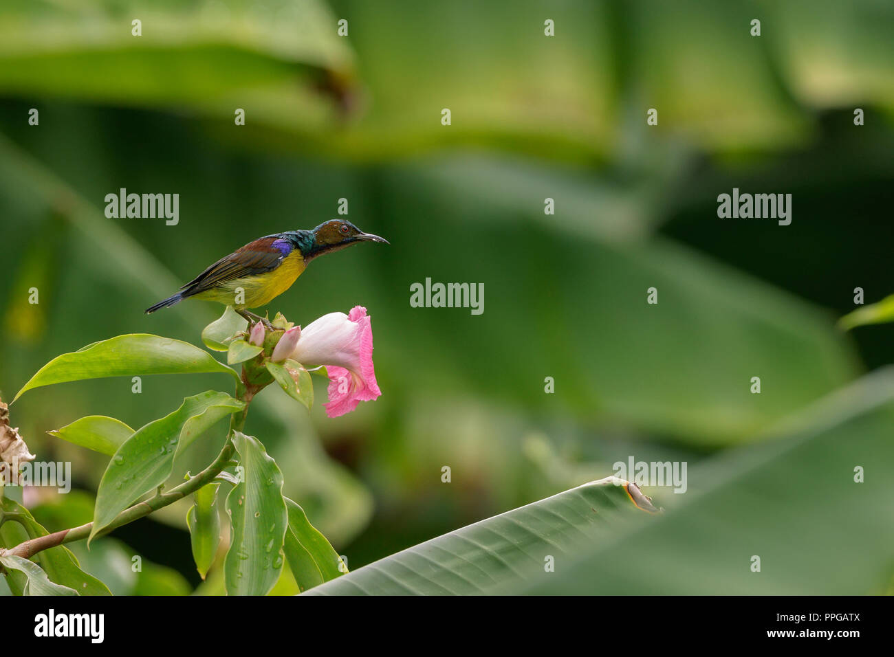 Brown-Throated sunbird feeding in Singapore Botanic Gardens Stock Photo