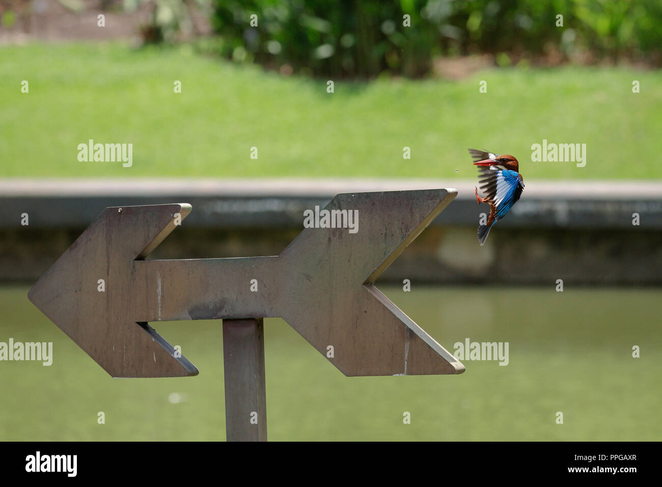 White-Throated Kingfisher about to land after a dive to catch fish - Stock Image
