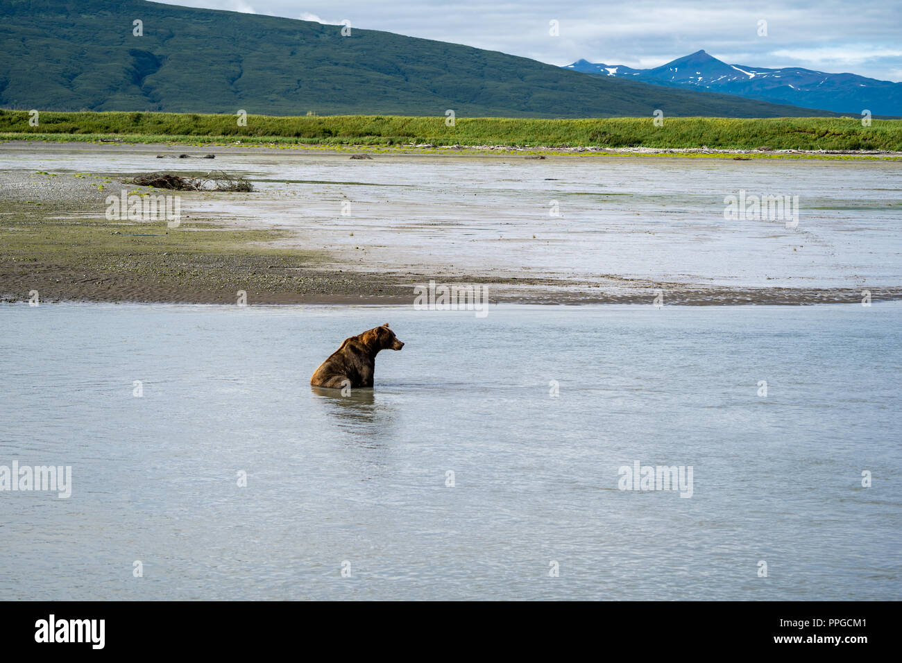 Alaskan coastal brown grizzly bear sits in water as he fishes for salmon in Katmai National Park Stock Photo