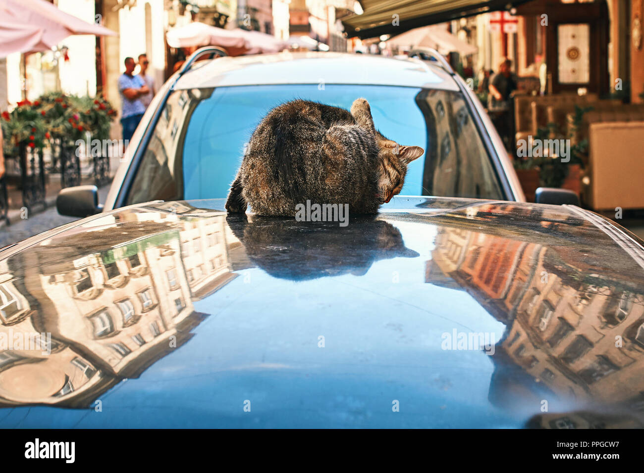 Cat washing itself sitting on an automobile roof in the old historical European city center - Stock Image