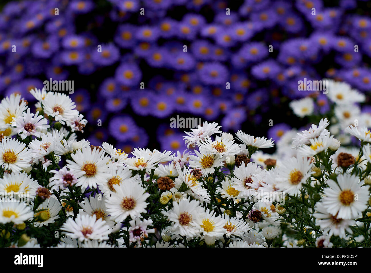 Blue And White Flowers In A Park Stock Photo 220408434 Alamy