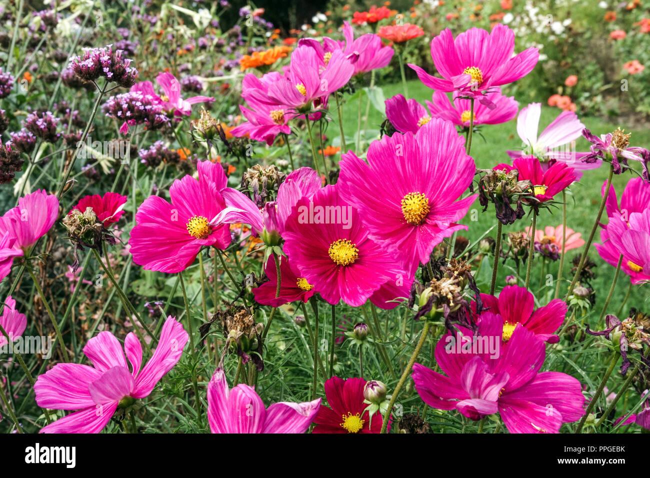 Annual flowerbed in late summer, Garden Cosmos bipinnatus - Stock Image