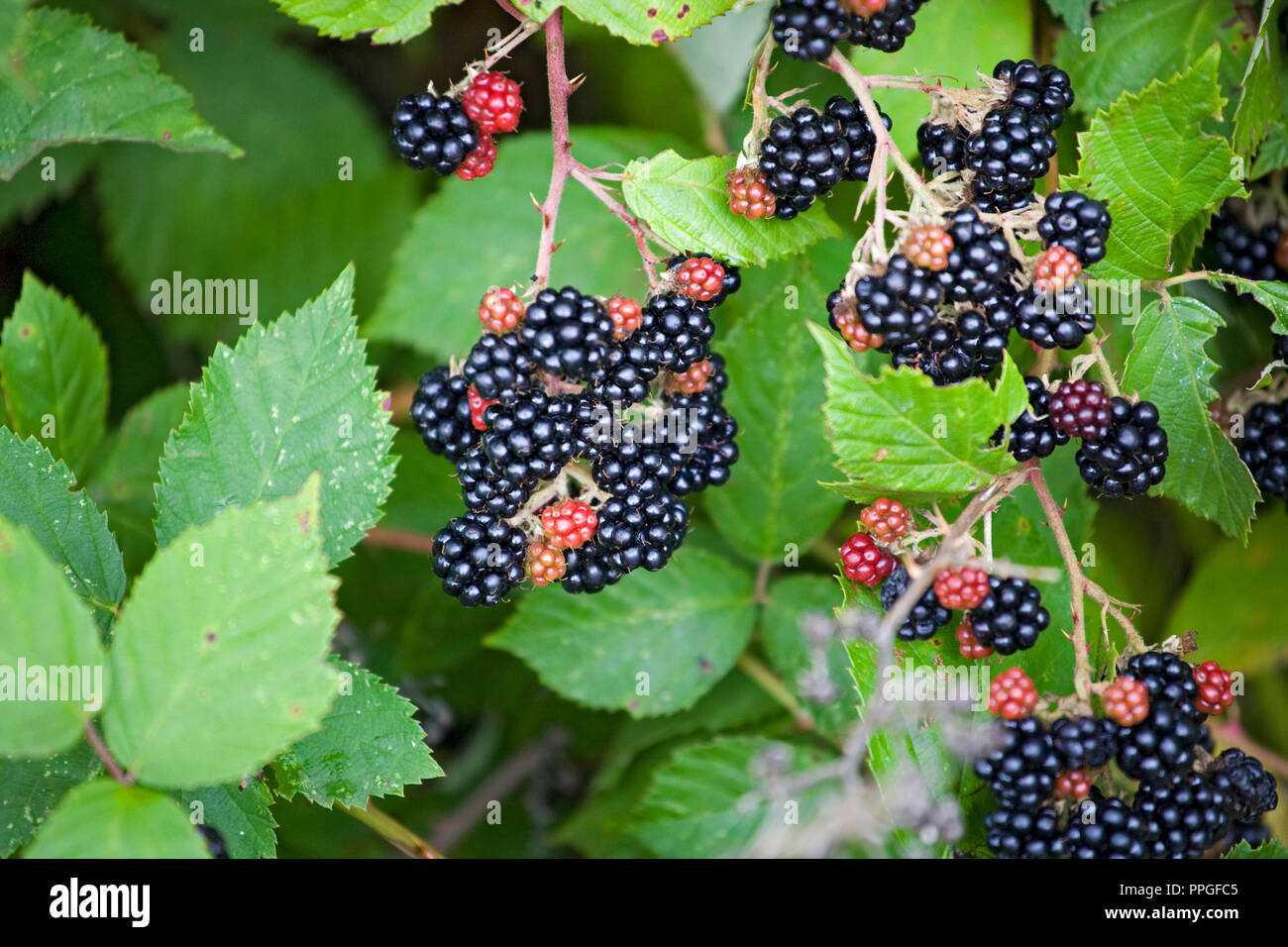 The stickery vines of Himalayan blackberries growing wild in the Willamette Valley of Oregon - Stock Image