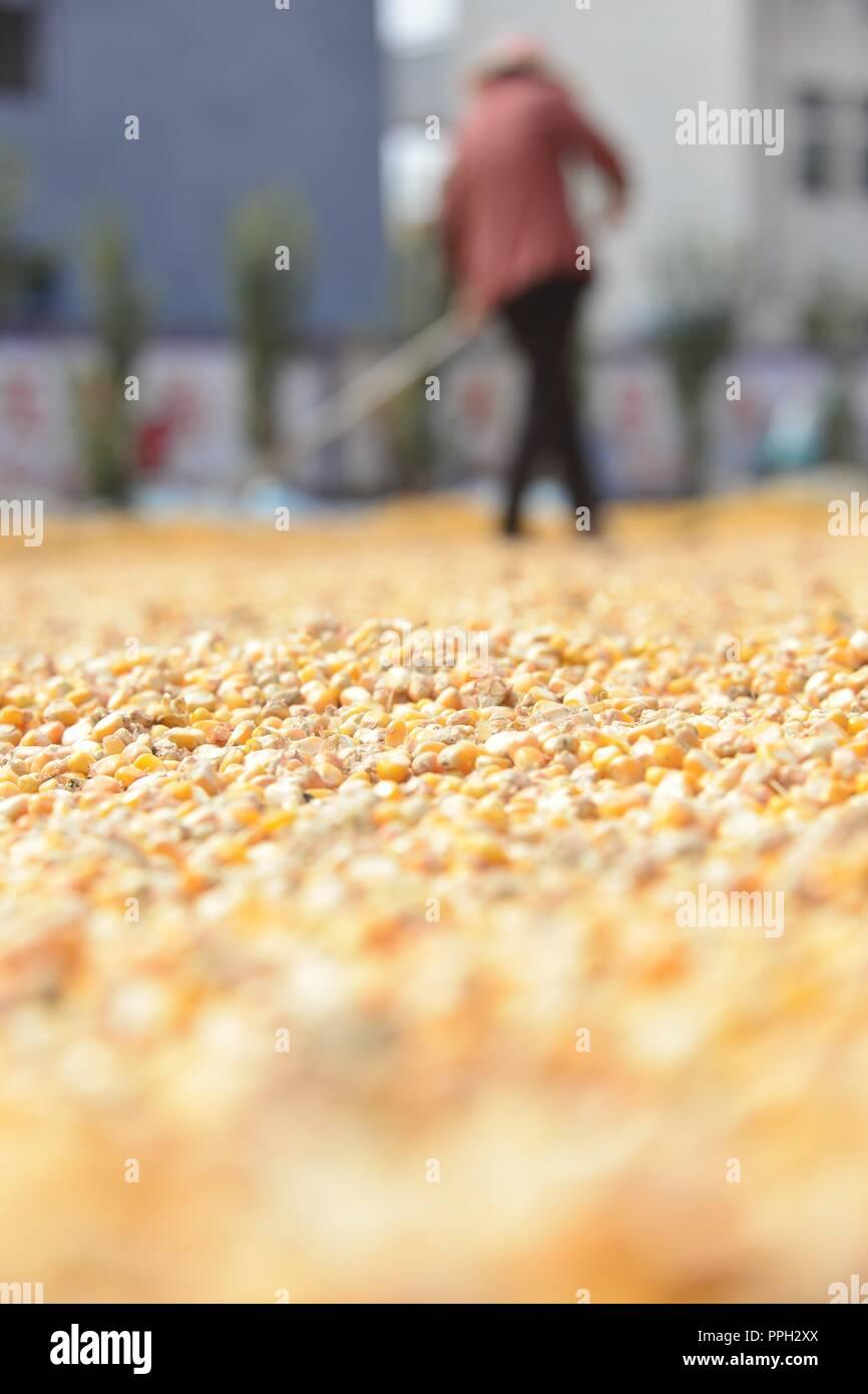 (180926) -- LIAOCHENG, Sept. 26, 2018 (Xinhua) -- A farmer airs newly-harvested corn grains in Qianzhai Village of Liaocheng City, east China's Shandong Province, Sept. 26, 2018. (Xinhua/Zhao Yuguo) (ry) - Stock Image