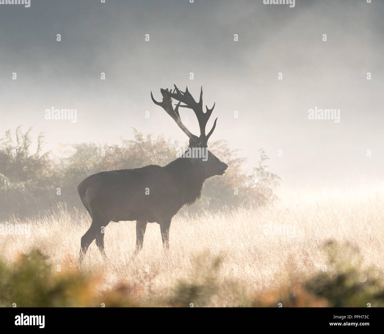 Richmond Park, United Kingdom. 26th September 2018. UK Weather:  Red deer stags bellow during a bright, cold morning in Richmond Park at the beginning of the rutting season. Credit: Andrew Plummer/Alamy Live News - Stock Image