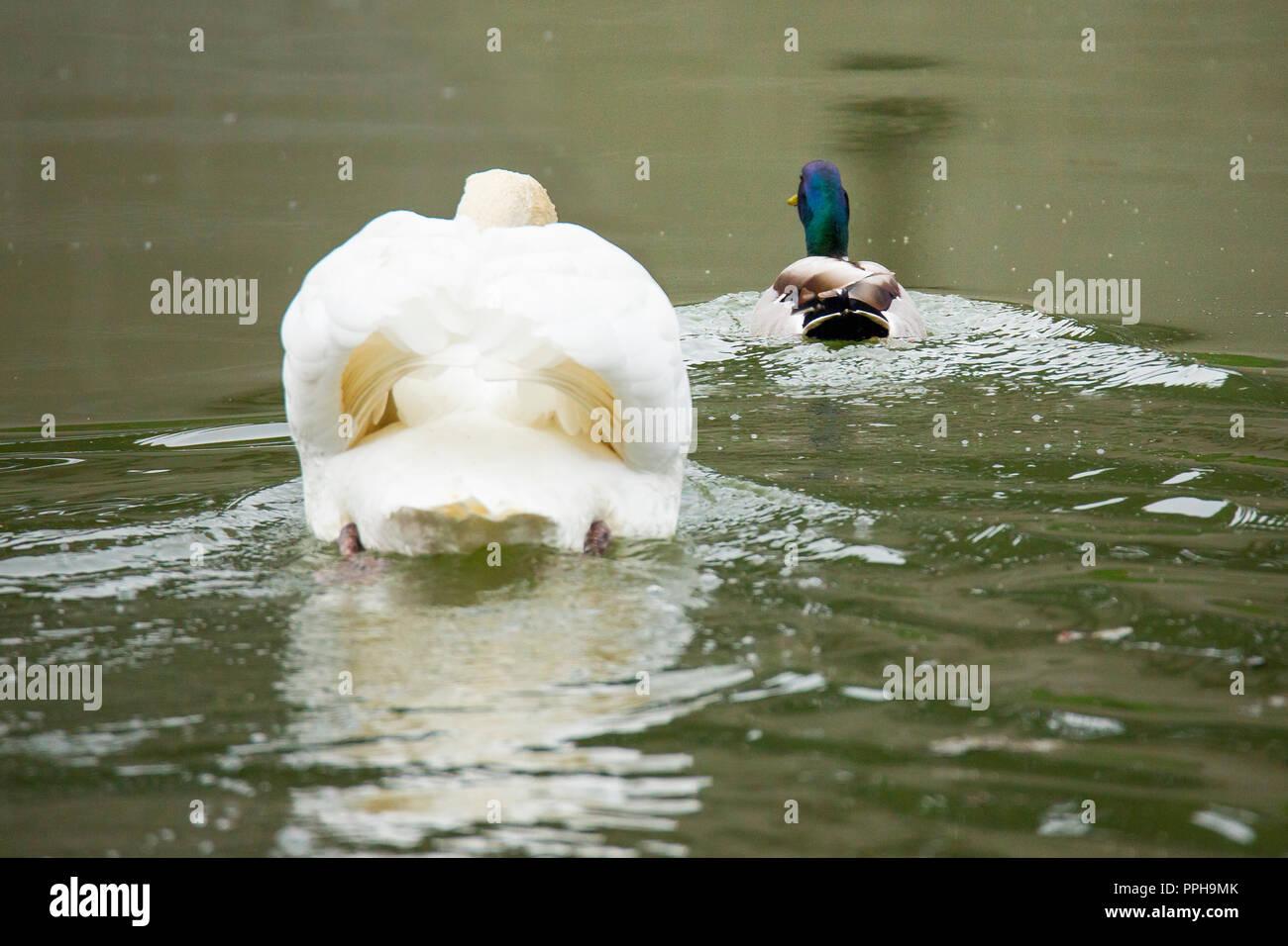 Swan hound duck - Stock Image