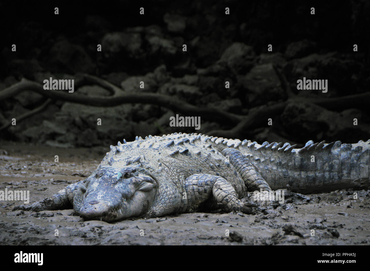 Wild Crocodiles in the banks of the Canyon in Chiapas, Mexico. Sumidero Canyon (Spanish: Cañón del Sumidero) is a deep natural canyon . - Stock Image