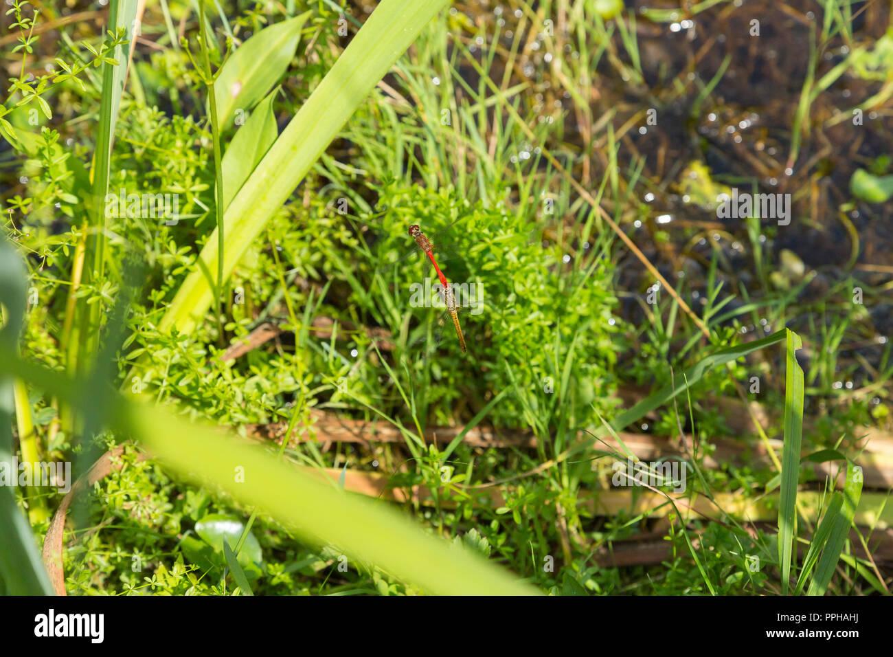 Sympetrum striolatum - Stock Image