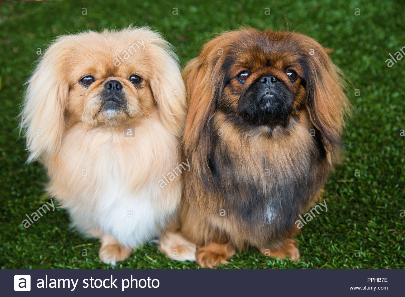 Two cute pekingese dogs standing next to each other on grass with serious expressions - Stock Image