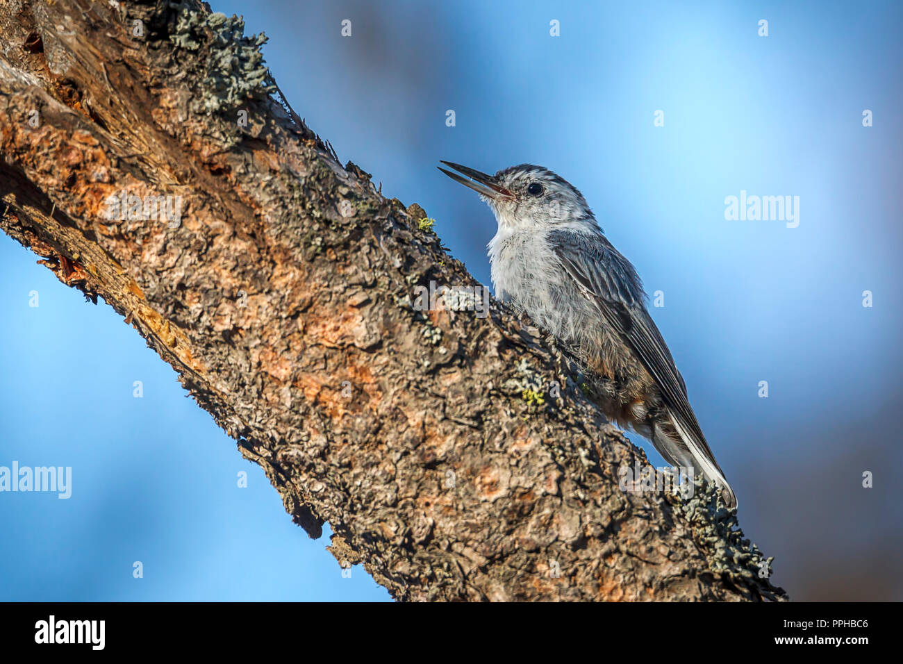 A small nuthatch songbird is perched on a tree branch at Turnbull wildlife refuge in Cheney, Washington. - Stock Image