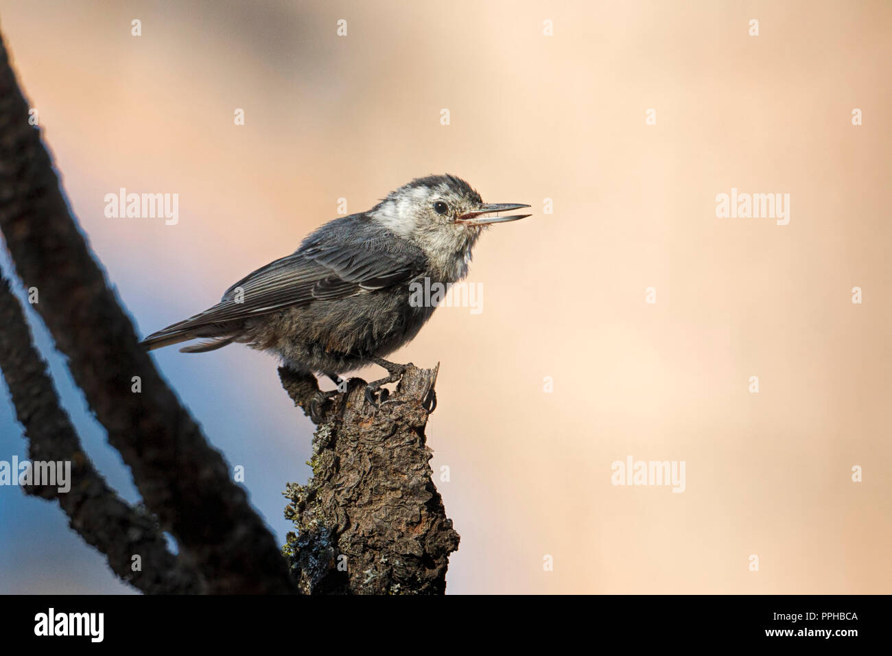 A cute nuthatch songbird is perched on a tree branch at Turnbull wildlife refuge in Cheney, Washington. - Stock Image
