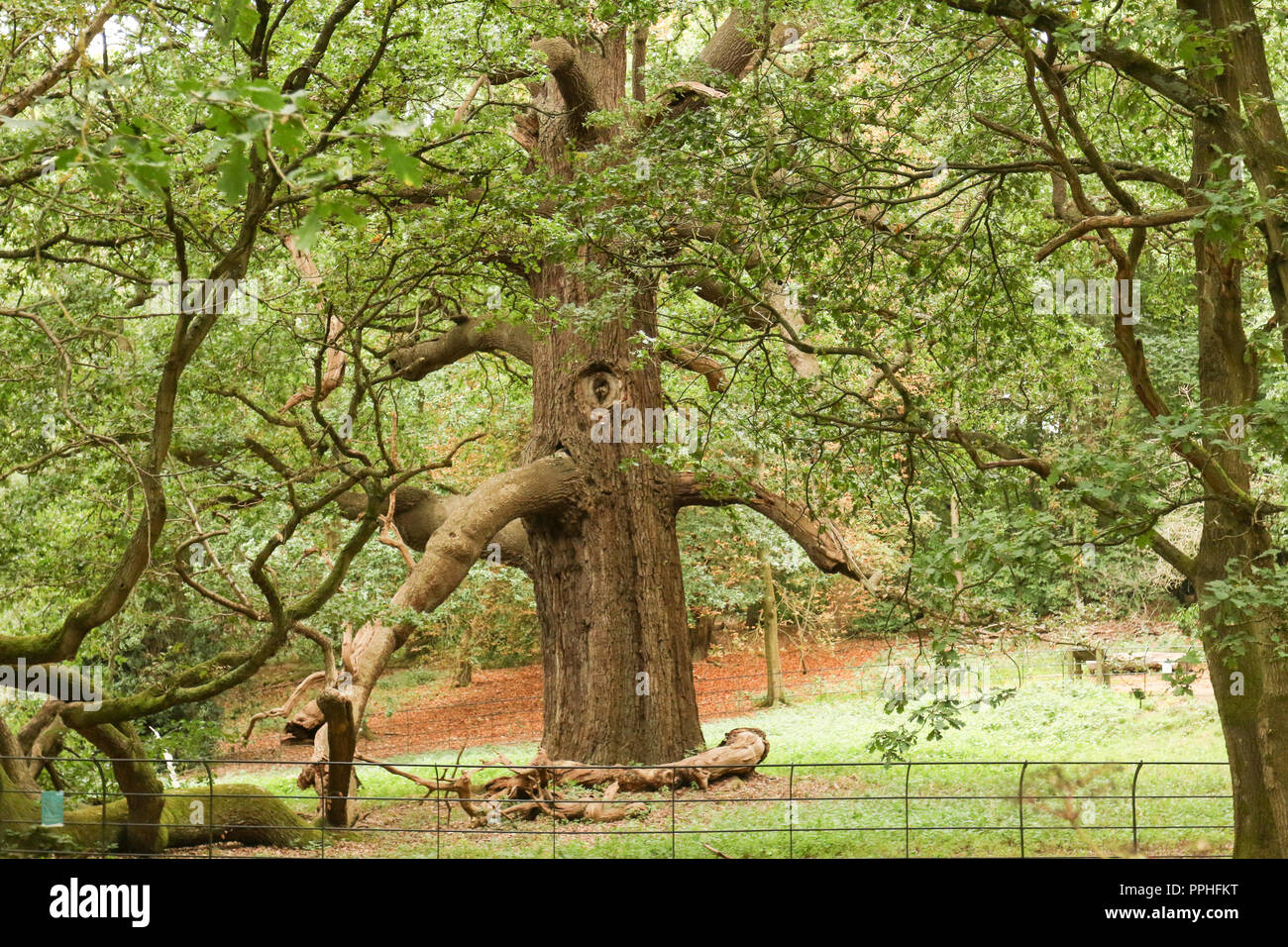 The largest Great Oak or maiden Oak or clear stemmed Oak in the country. - Stock Image
