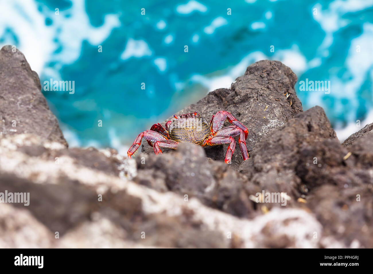 View down to crab species Grapsus adscensionis at rock cliff, Tenerife, Canary Islands (copy space) Stock Photo