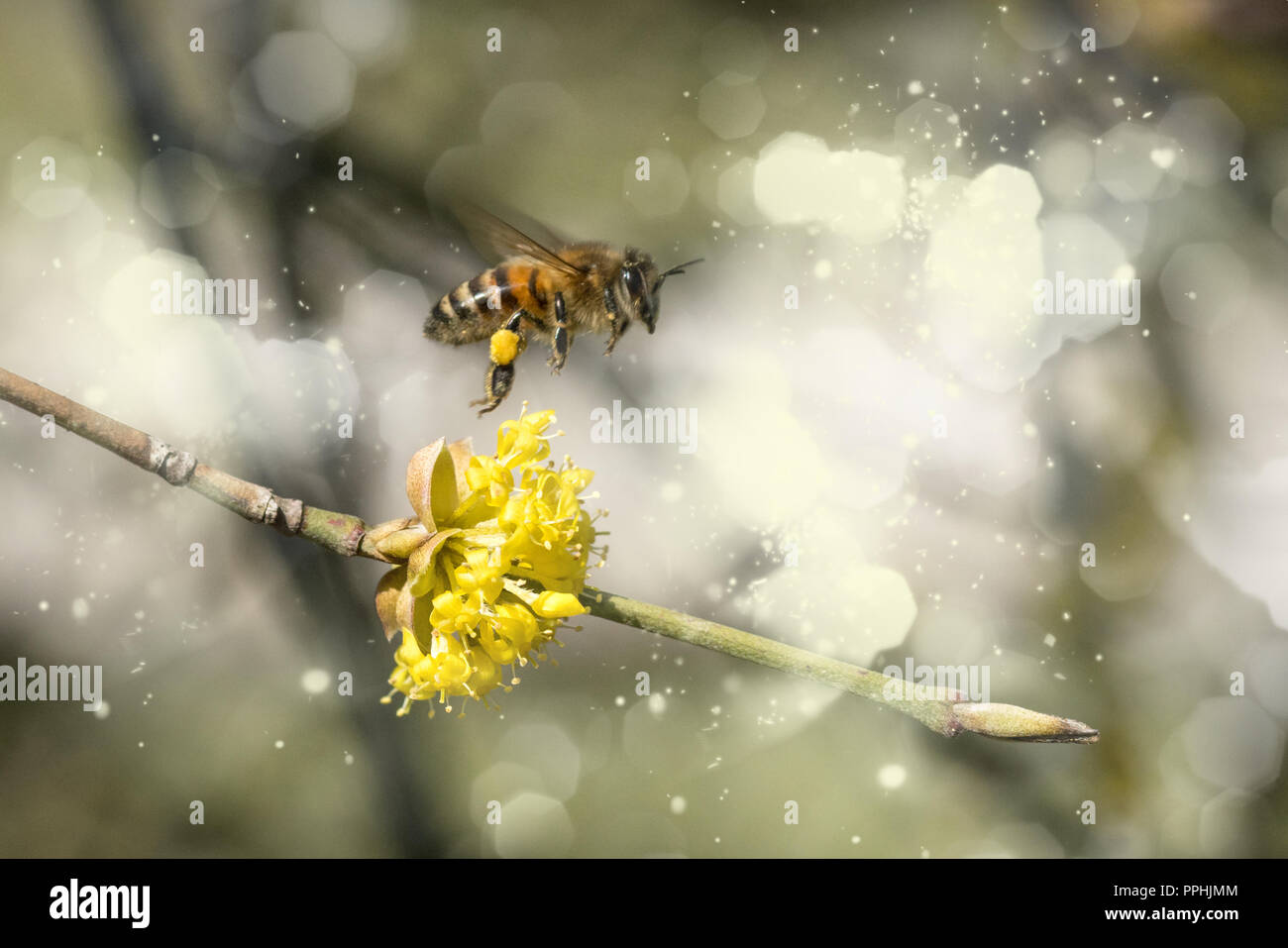 hardworking bee collects nectar, blossom with background - Stock Image