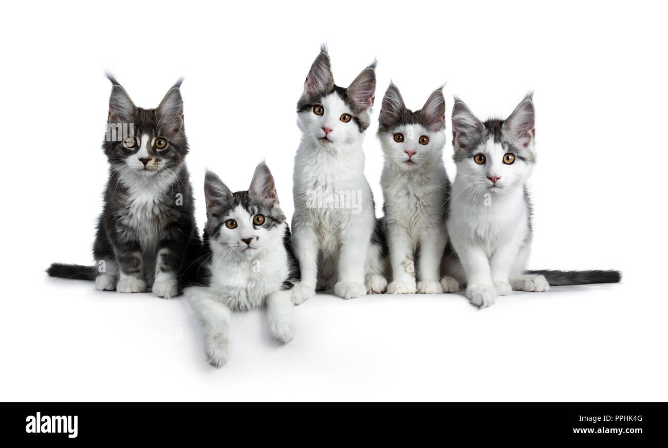 Perfect Row Of Five Blue Black Tabby High White Maine Coon Cat Kittens Sitting Laying And Looking At Camera Isolated On White Background Stock Photo Alamy