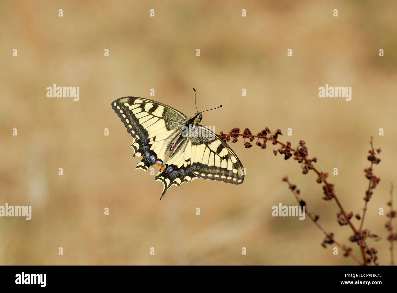 Butterfly Old World Swallowtail (Papilio machaon) - Stock Image