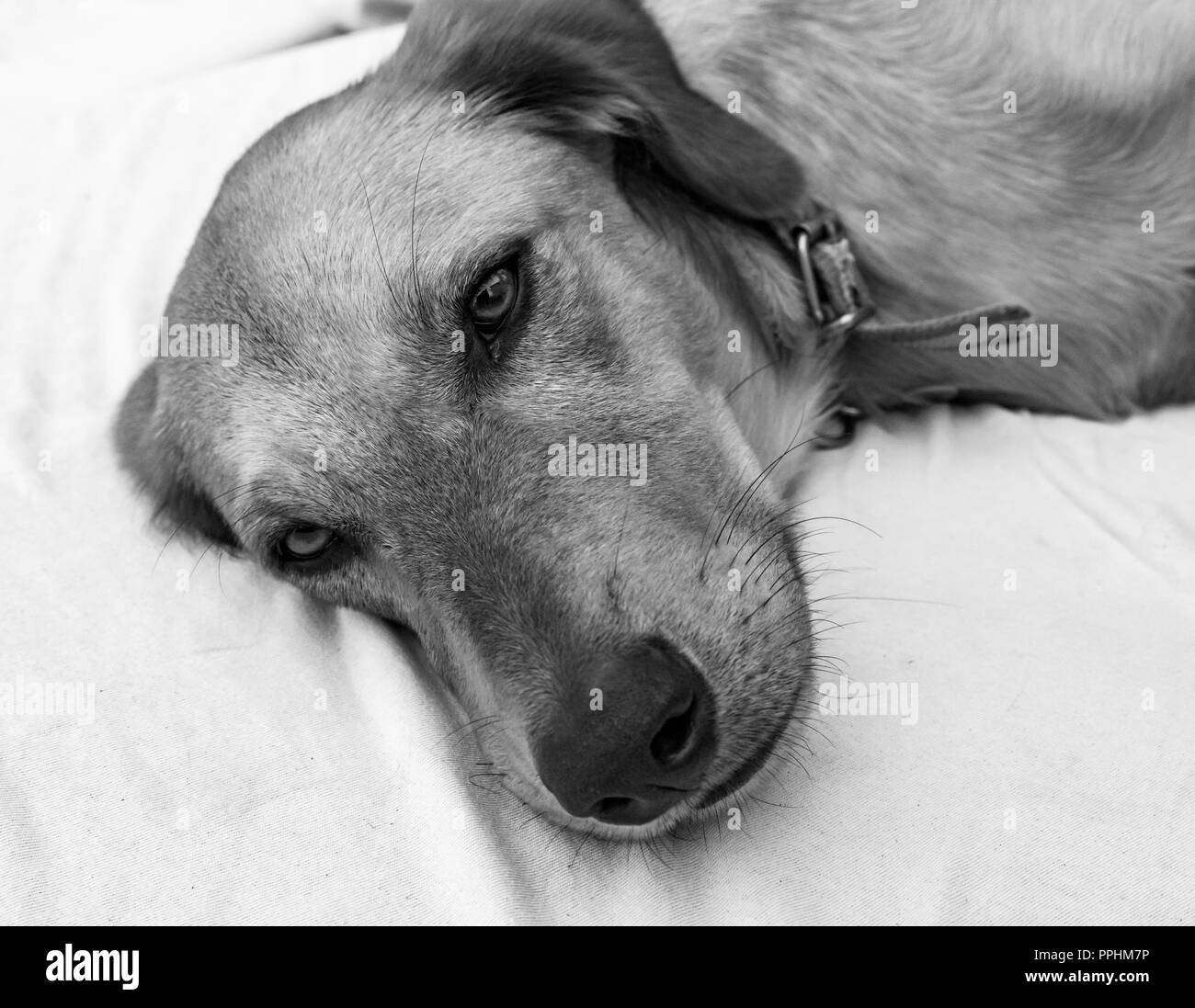 Male dog face dozing on bed in black and white - Stock Image