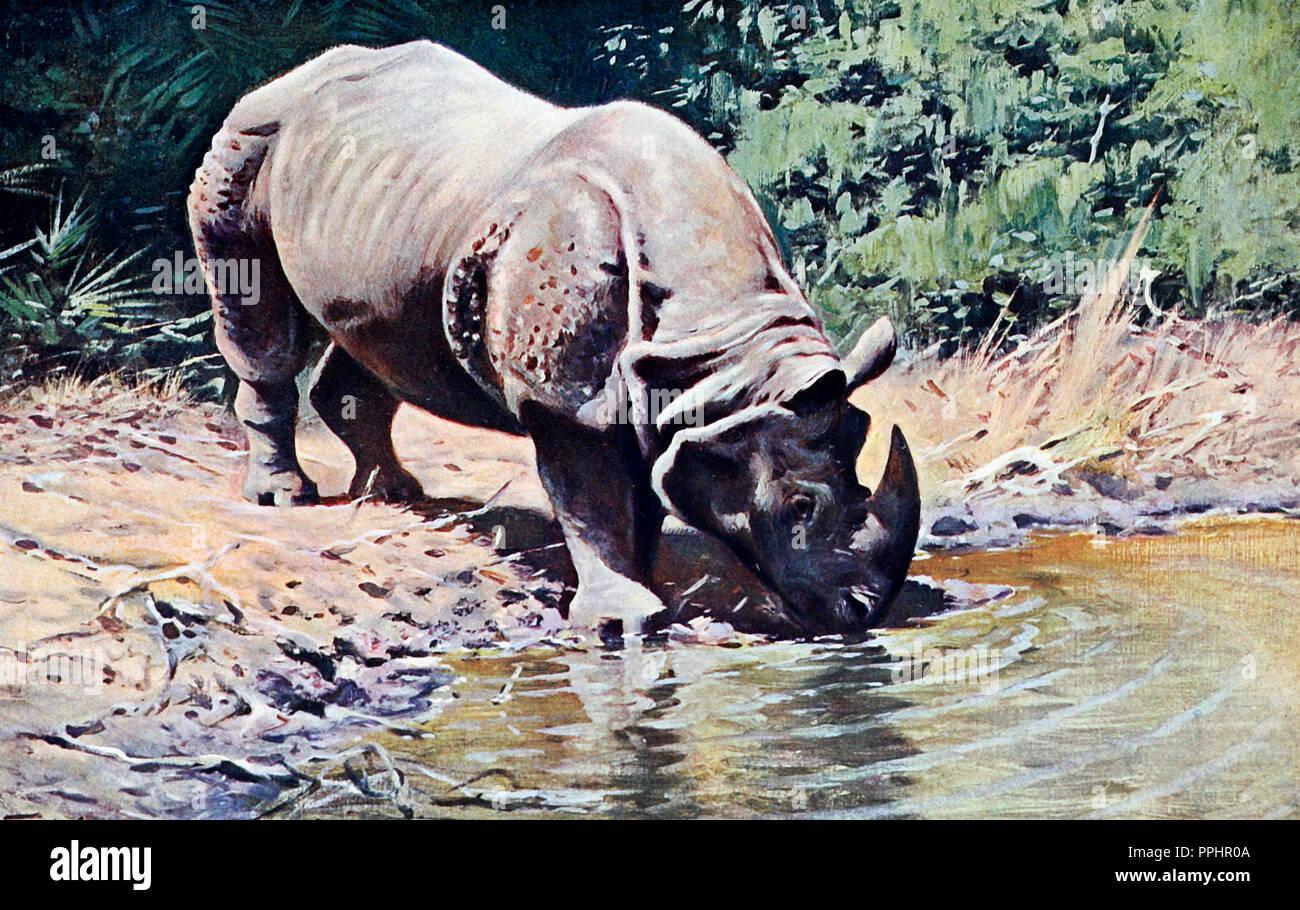 Indian Rhinoceros - Stock Image